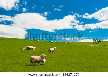 Common view in the New Zealand - hills covered by green grass with herds of sheep - stock photo