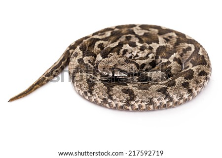 Common viper snake isolated on white  - stock photo