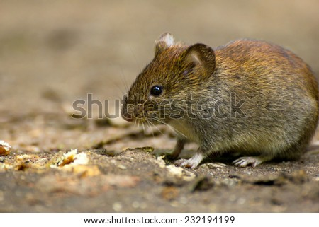 Common Vole (Microtus arvalis) in its natural habitat - stock photo