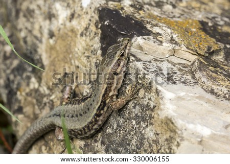 Common wall lizard (Podarcis muralis) from Germany, Europe - stock photo