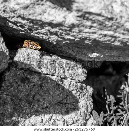 Common wall lizard (Podarcis muralis) sleeping at the sun black and white pattern - stock photo
