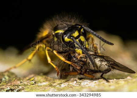 Common wasp (Vespula vulgaris) eating prey.  This insect has caught a fly and is feeding whilst on bark of a tree - stock photo