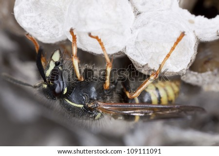 Common wasp, Vespula vulgaris on wasp's nest, photographed with high magnification - stock photo