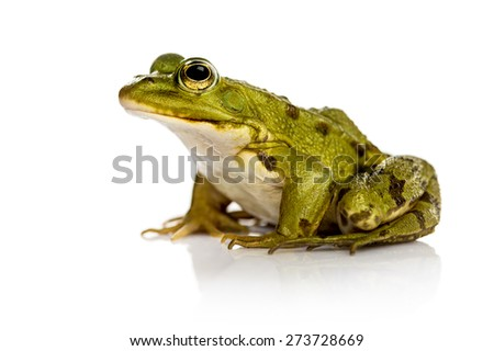 Common Water Frog in front of a white background - stock photo