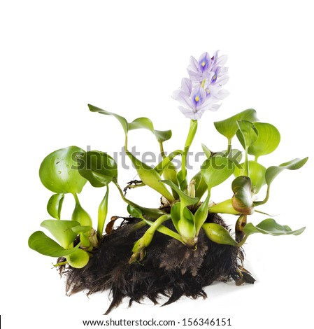 Common Water Hyacinth (Eichhornia crassipes). Plant with leaves, roots and flowers isolated on white background - stock photo