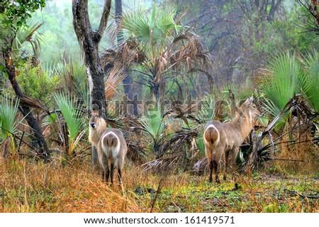 Common waterbucks (Kobus melampus). Gorongosa, Mozambique. - stock photo