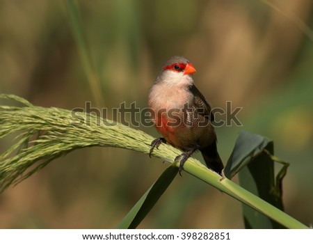 Common Waxbill, Estrilda astrild, small colorful african bird with red beak and red eye stripe perched on a green reed stem against blurred background. Madeira Island. - stock photo