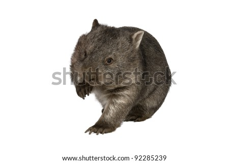 Common wombat, Vombatus ursinus hirsutus, on white background - stock photo