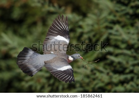 Common Wood Pigeon in flight carrying a twig as a nest material.