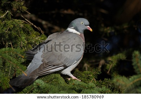 Common Wood Pigeon perched in the spruce. - stock photo