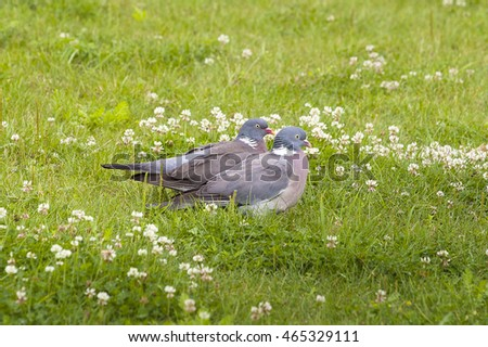 Common wood pigeons. The common wood pigeon (Columba palumbus) is a large species in the dove and pigeon family.