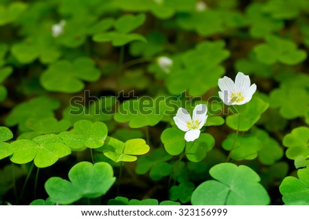 Common wood sorrel blossom and leaves are edible - Oxalis acetosella - stock photo