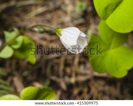 Common Wood Sorrel, Oxalis acetosella, flower macro with leaves defocused, selective focus, shallow DOF - stock photo