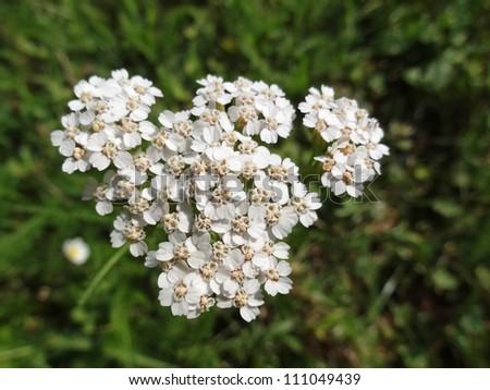 Common Yarrow (Achillea Millefolium) in bloom - stock photo