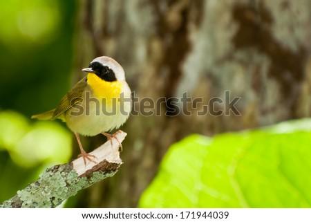 Common Yellowthroat - stock photo