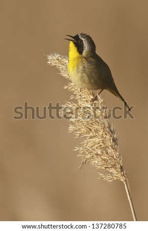 Common Yellowthroat (Geothlypis trichas) singing while perched in the marsh. - stock photo