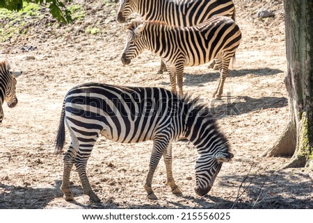 Common zebra - horizontal shot
