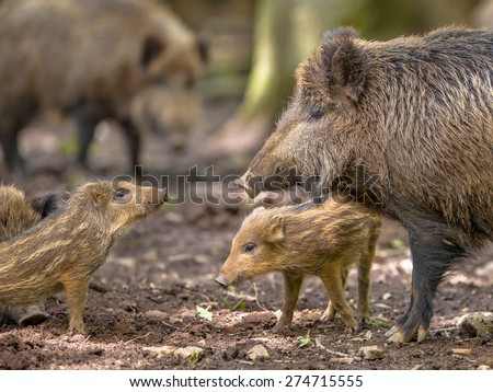 Communicating Family of Wild Boar (Sus scrofa) while taking a mud bath on a clearing in the forest - stock photo