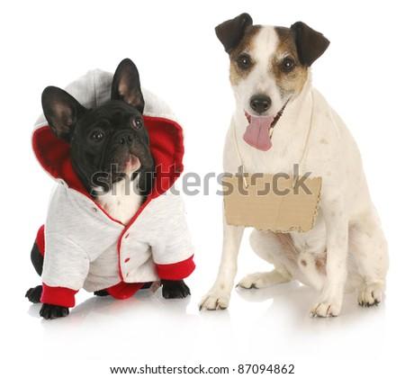 communication - french bulldog sitting beside jack russel terrier wearing black sign on white background - stock photo