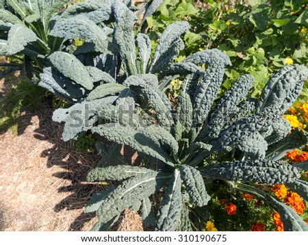 community garden with kale - stock photo