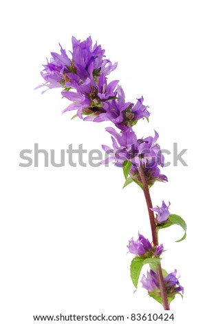 Compact bellflower (Campanula glomerata) on white background
