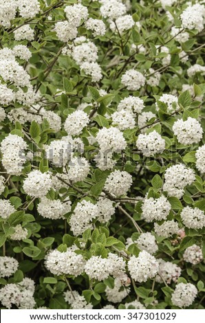 Compact Koreanspice viburnum (binomial name: Viburnum carlesii 'Compactum'), a shrub with  white flowers that bloom in spring with a far-reaching and, many would say, seductive fragrance like perfume - stock photo