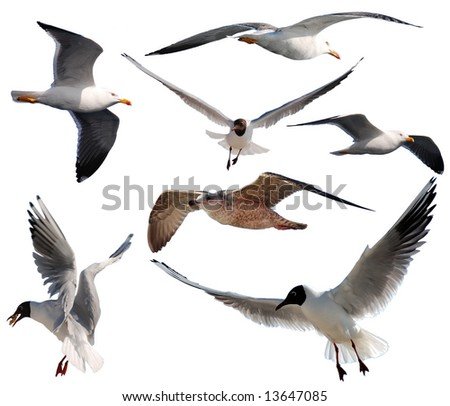 Compilation of seven isolated gulls on a white background - stock photo