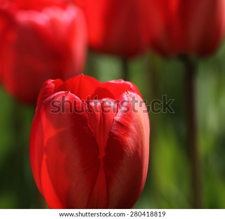 Complementary colours red tulip green background - stock photo