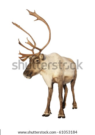 Complete caribou reindeer looking at camera isolated on white background ready to be put on any Christmas card or design. Great details. - stock photo