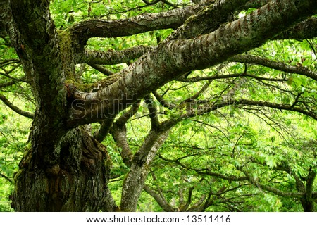 complex network of branches on an old tree - stock photo