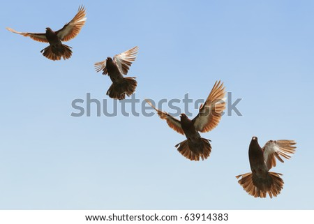 Composite image of a beautiful brown pigeon in flight - stock photo