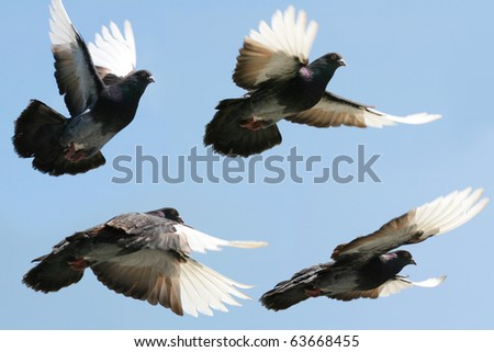 Composite image of a beautiful grey and white pigeon flying. Four differing wing and body positions. - stock photo