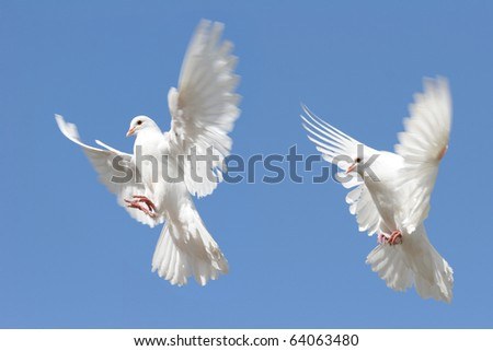 Composite image of a beautiful white dove in flight. Two differing views of wings and body positions.