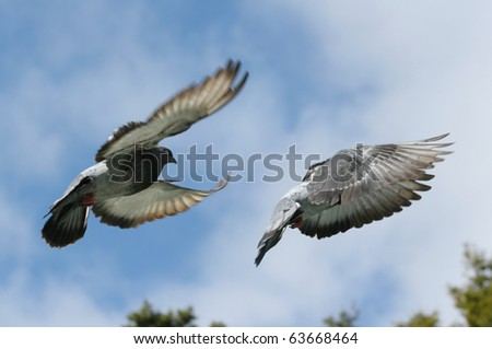 Composite image of a grey pigeon in flight. Two different wing positions. - stock photo