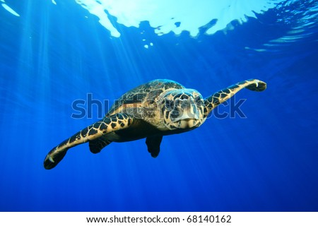 Composite image of Hawksbill Sea Turtle on blue water background - stock photo
