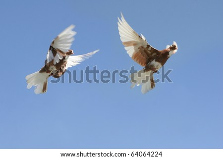 Composite of a pigeon flying, two differing wing and body positions. - stock photo