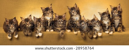 Composite pano panorama of 10 Maine Coon kittens in a row, with golden color treatment - stock photo