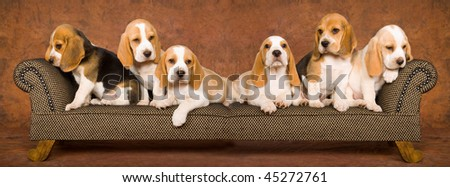 Composite panorama collage of 6 Beagle puppies on miniature chaise sofa - stock photo