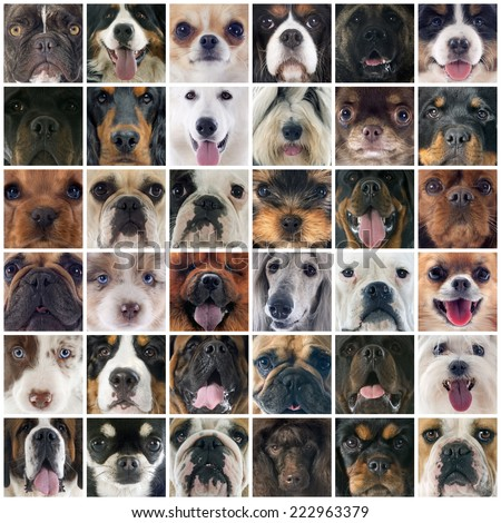 composite picture of group of purebred dogs - stock photo