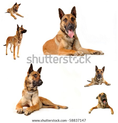 composite picture with purebred belgian sheepgog malinois on a white background
