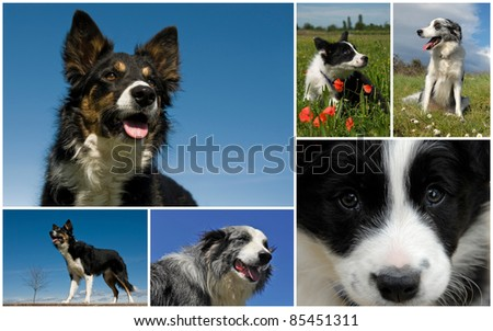 composite picture with purebred dogs and puppies border collie - stock photo
