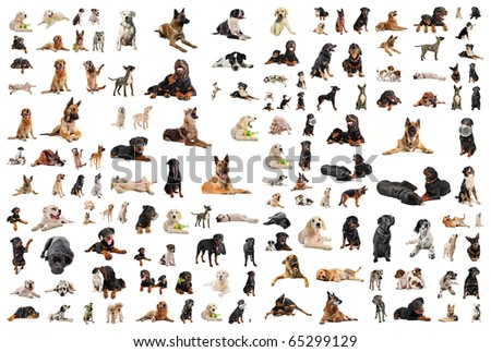 composite picture with purebred  dogs in a white background - stock photo