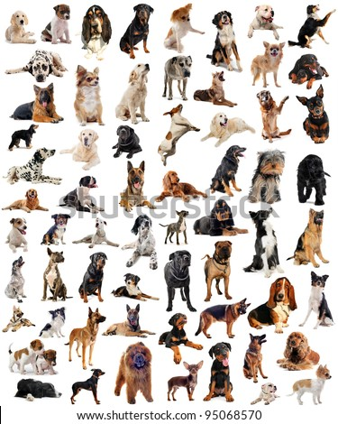 composite picture with purebred  dogs in a white background