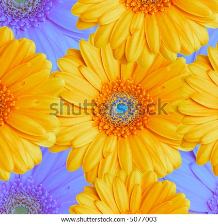Composition  from blue and yellow flowers on a color background