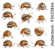 Composition of Colorado potato beetles, the ten-striped spearman, the ten-lined potato beetle or the potato bug, Leptinotarsa decemlineata, in front of white background - stock photo