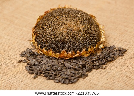 Composition of different types of crop seeds. Autumn harvest. Flower seeds, ripe grain sunflower, sunflower seeds. Ripe sunflower head on a table next to the seeds and flower seeds. - stock photo