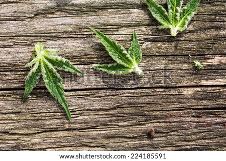 Composition of fresh marijuana leaves on grunge wooden desk. View from above. - stock photo