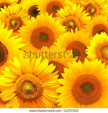 Composition of sunny sunflower background - stock photo