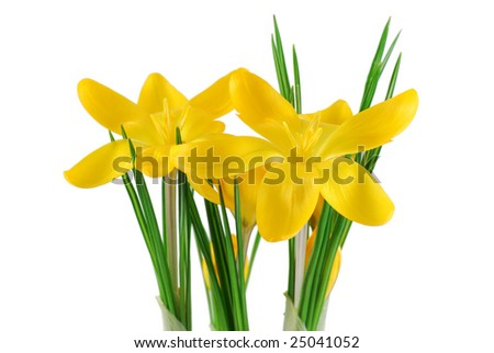composition of two yellow crocus - stock photo