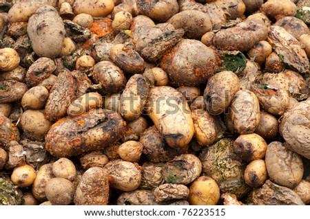 Compost Pile of Rotting Potatoes, close up horizontal with details - stock photo